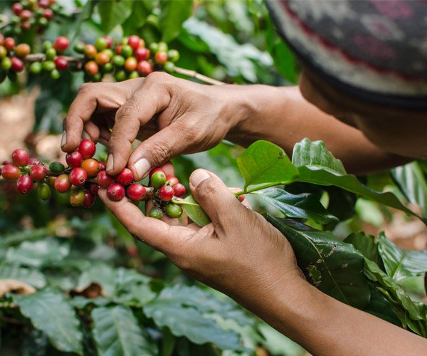 Fairtrade and Organic Coffee Plantation